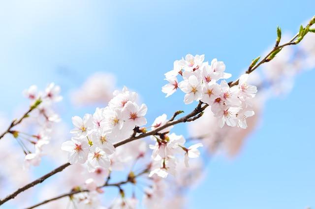 האם כדאי לצאת לטיול ליפן לתקופת פריחת הדובדבן?