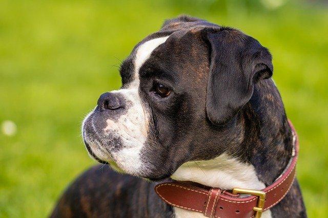כלב בוקסר