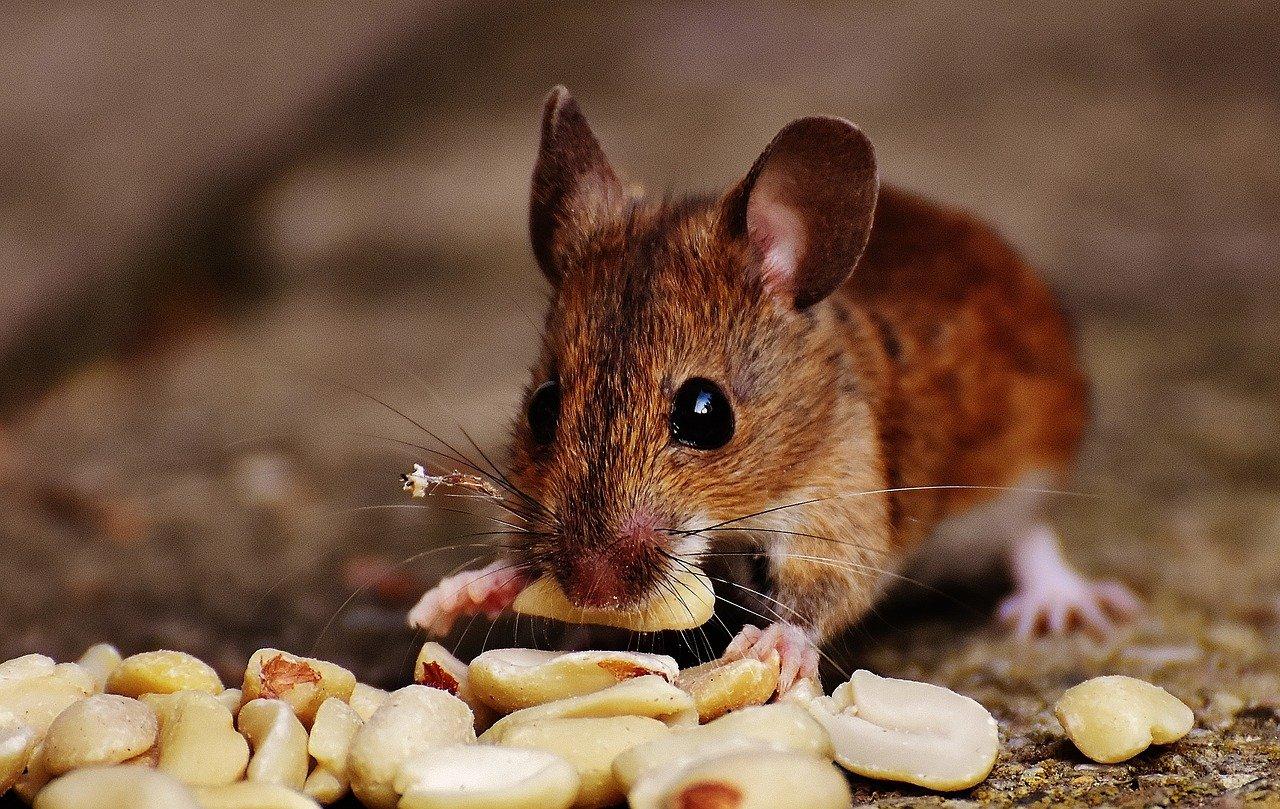 לכידת עכברים